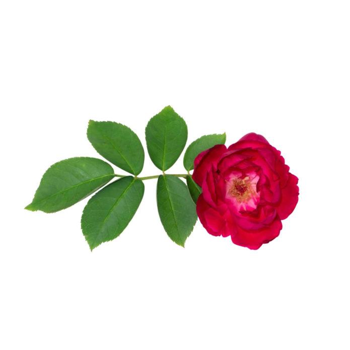 Rosa Damiscena
